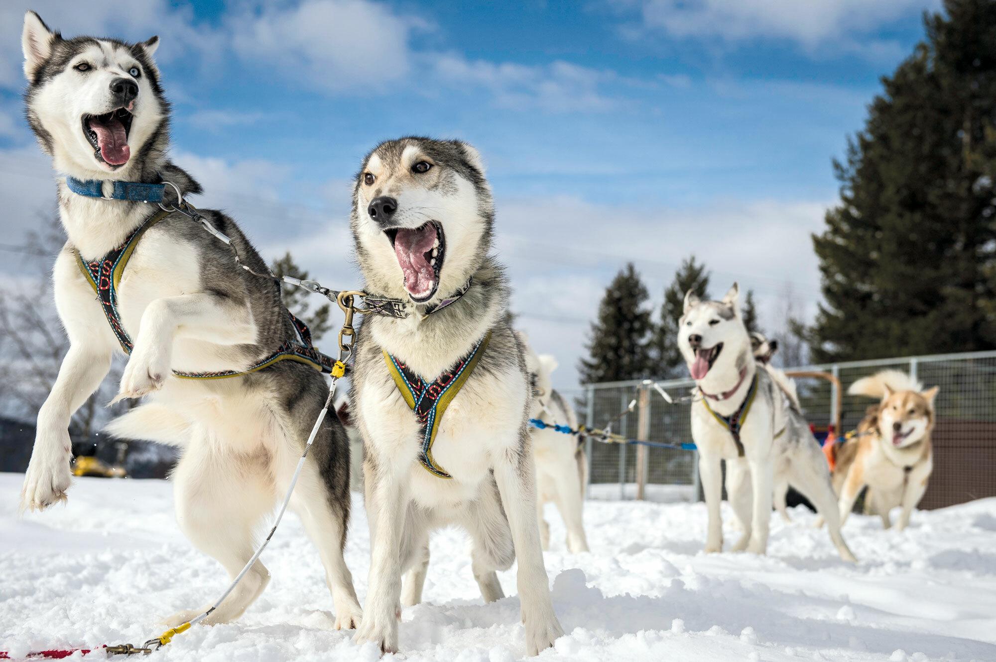 Die wollen bloss laufen! – Hundeschlitten Abenteuer in Lappland
