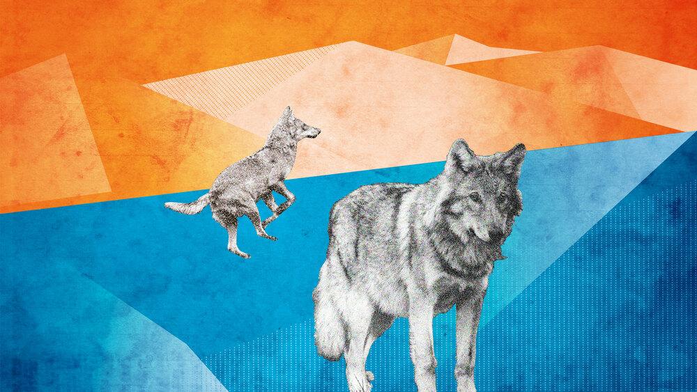 Swiss Wildlife – Auf den Spuren der Wölfe